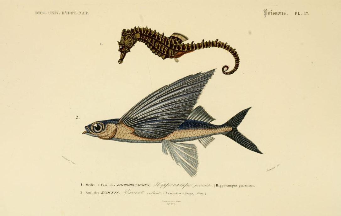 vintage seahorse illustration